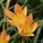 บัวดินzephyranthes Bright Eyes thumbnail 1