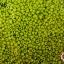 ลูกปัดจีน กลม สีเขียวตอง ด้าน #S 2มิล (1ถุง/450กรัม) thumbnail 1