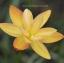 บัวดินดอกซ้อนสีเหลือง Z.yantichandra thumbnail 2