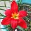 zephyranthes pride of singapore thumbnail 1