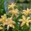บัวดินดอกซ้อนสีเหลือง Z.yantichandra thumbnail 1