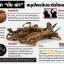 ถั่งเช่า ม.เกษตร ถั่งเช่าทิเบต (Cordyceps sinensis) ยาอายุวัฒนะ ถั่งเช่าแท้คุณภาพสูง จากงานวิจัยไทย ขายดีอันดับ1 thumbnail 6