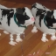 Cow Walking Balloons - วัวบอลลูน / Item No. TL-K017 thumbnail 2