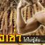 ถั่งเช่า ม.เกษตร ถั่งเช่าทิเบต (Cordyceps sinensis) ยาอายุวัฒนะ ถั่งเช่าแท้คุณภาพสูง จากงานวิจัยไทย ขายดีอันดับ1 thumbnail 5