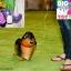 Dachshund Dog Walking Balloons - น้องหมาดัชชุนบอลลูน / TL-K014 thumbnail 3